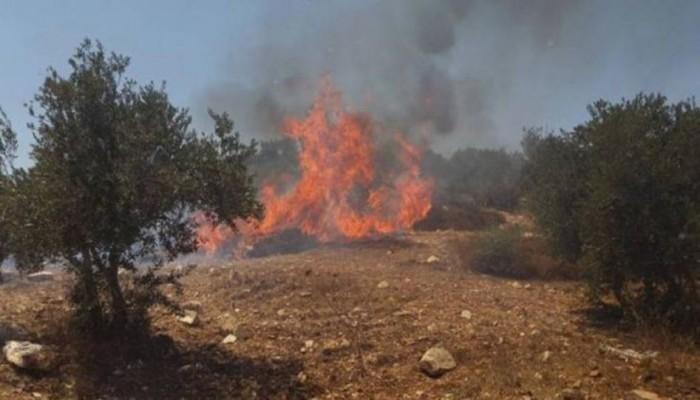 مستوطنون يحرقون 50 شجرة زيتون معمرة في بيت فجار